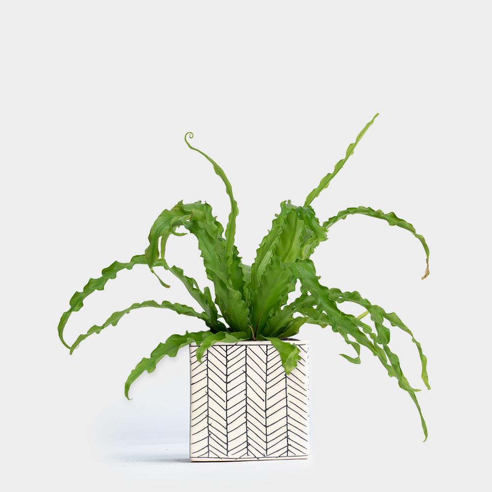 Victoria Bird's Nest Fern | 4