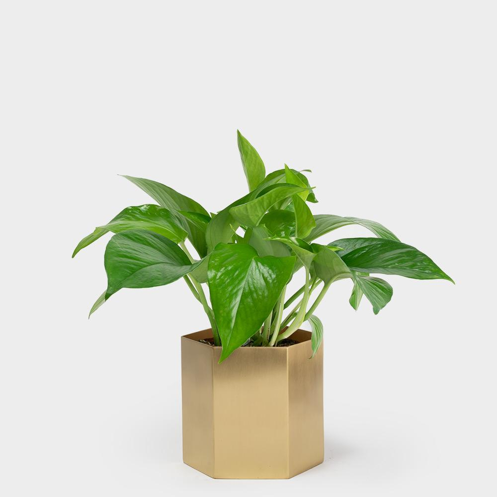 Jade Pothos Plant in Ferm Hexagon Pot | 4