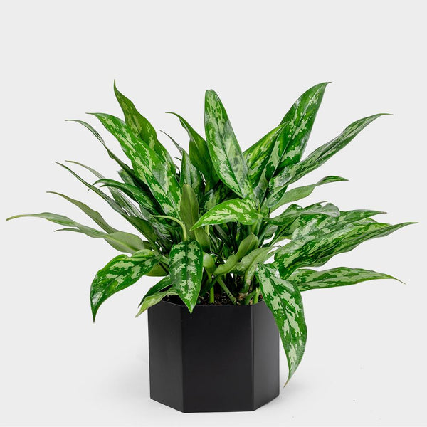 Aglaonema Marie | Order Potted Plants Online
