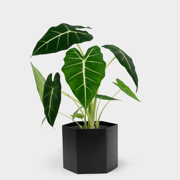 Alocasia Frydek | Order Potted Plants