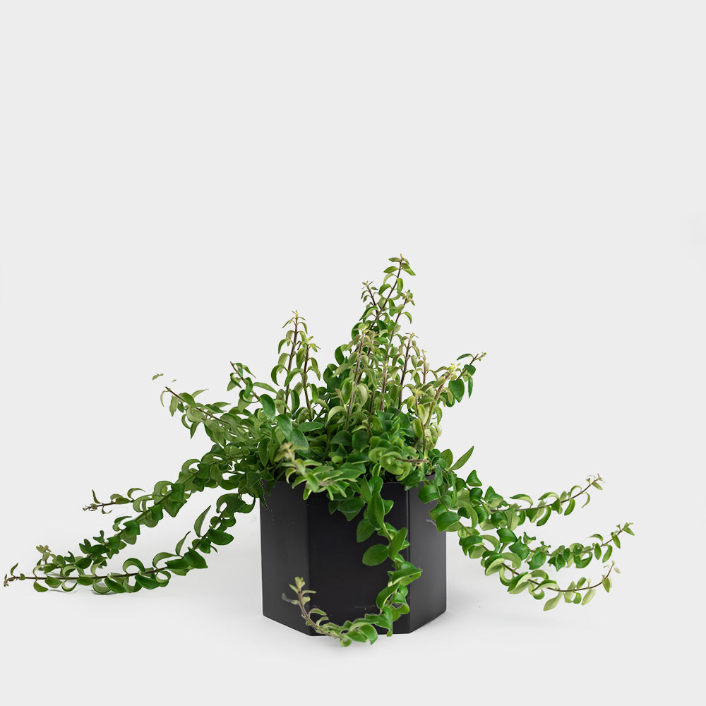 Greenery Unlimited 6 Rasta Lipstick Plant Shop More Indoor Plants