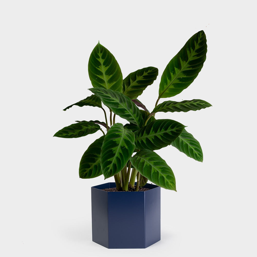 Calathea Jungle Velvet | 6