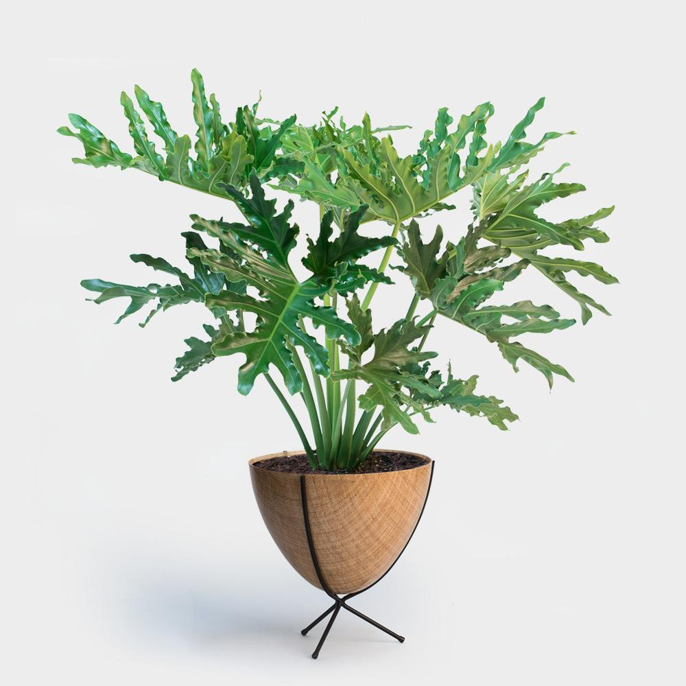 Philodendron Hope Selloum | 14