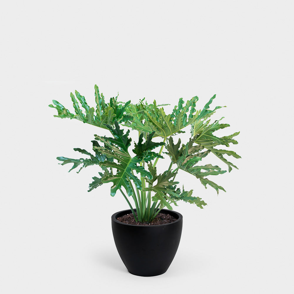 Philodendron Hope Selloum | 10