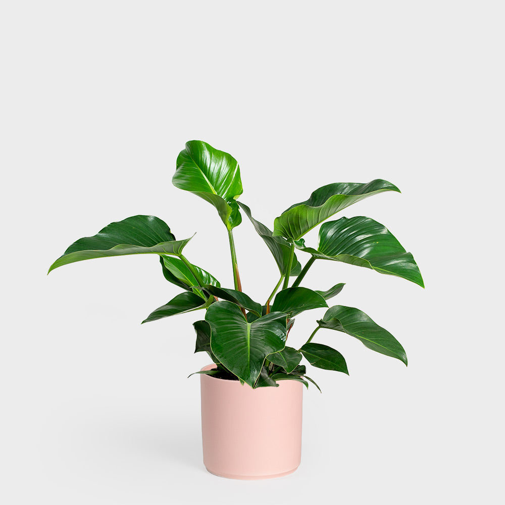 Philodendron Congo Green | 10