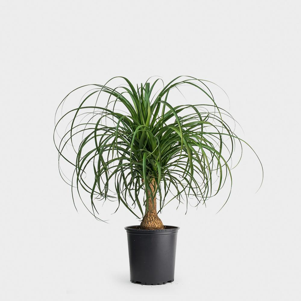 Ponytail Palm Plant Care
