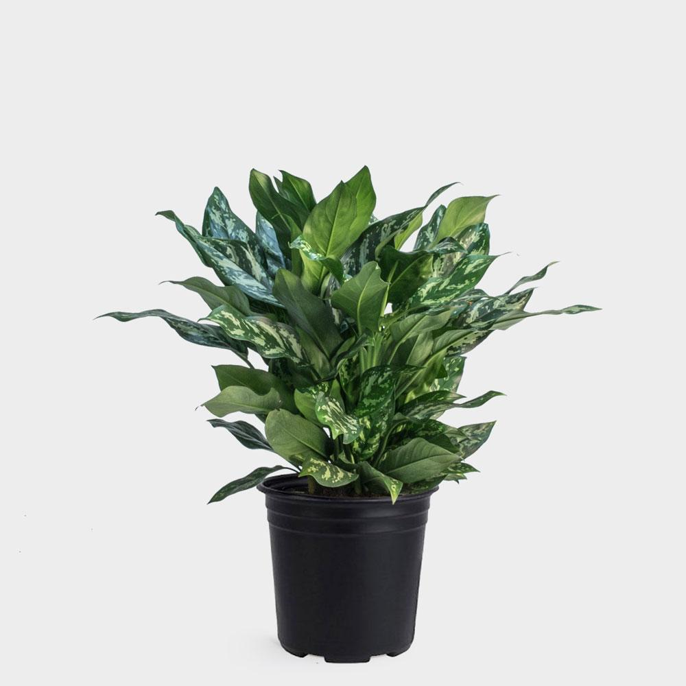 Aglaonema Marie Plant | Plant Delivery