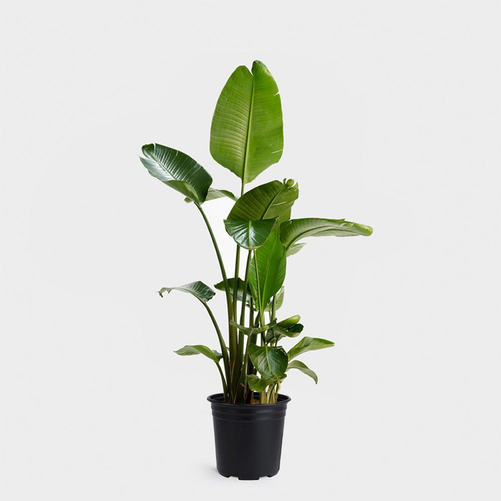Greenery Nyc 10 Bird Of Paradise Plant Potted Plants Delivered