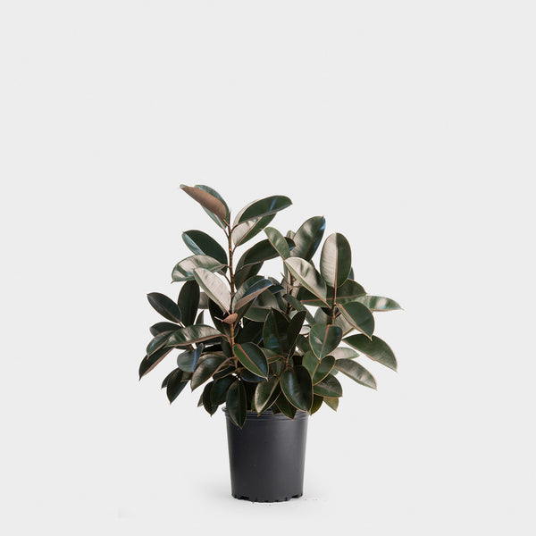 Ficus Elastica Burgundy | Rubber Plant | Delivery NYC