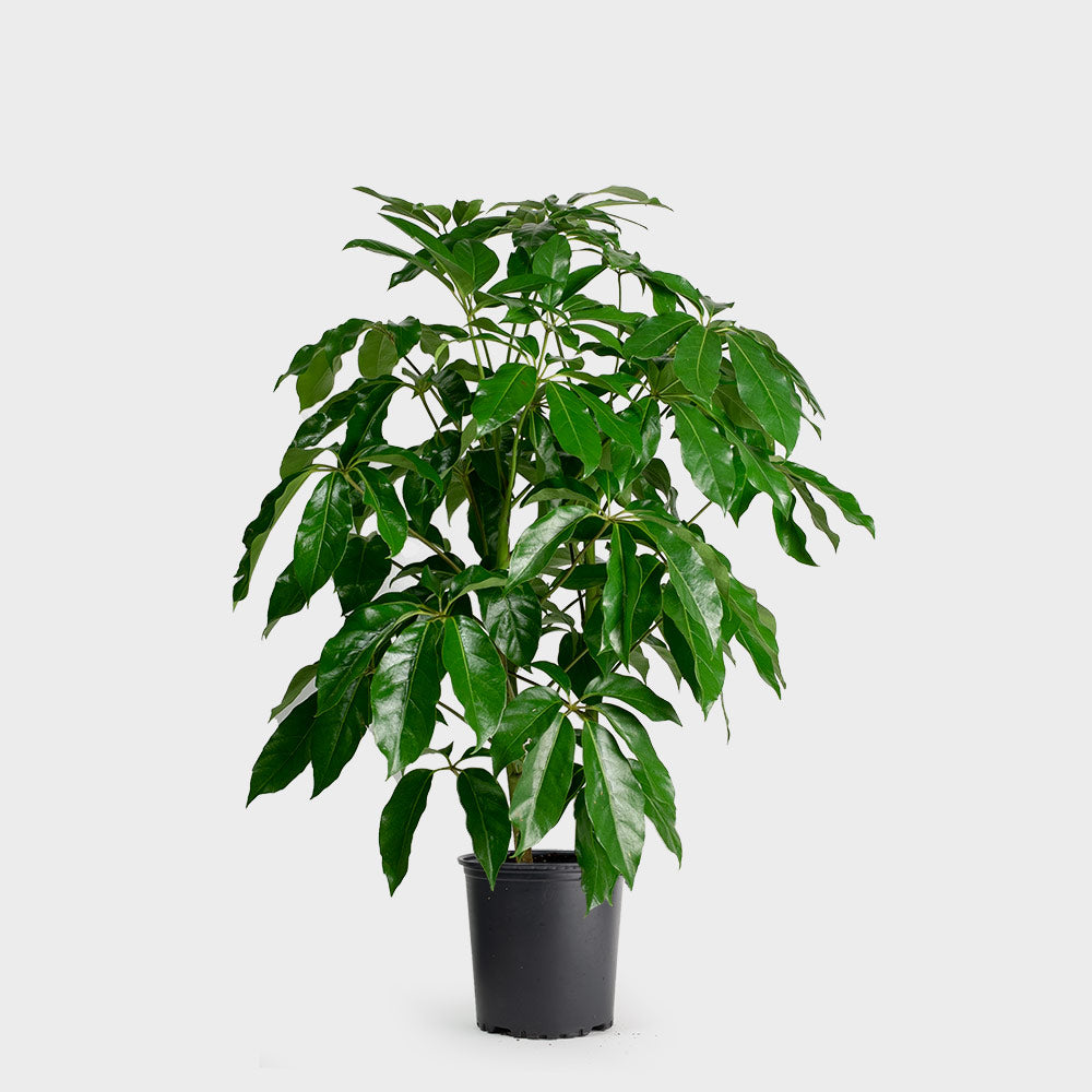 Schefflera Amate Plant Care