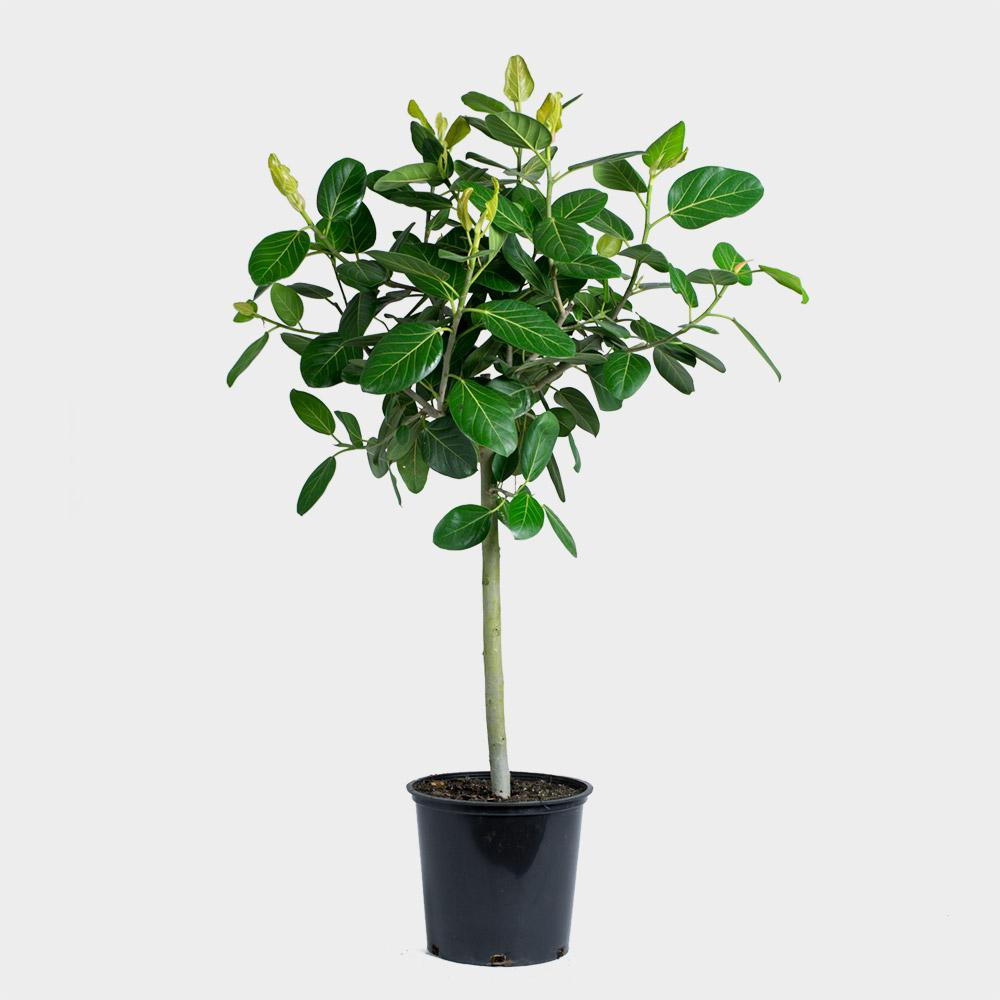 Greenery Unlimited Ficus Audrey Tree 14 Potted Indoor Plant Delivery