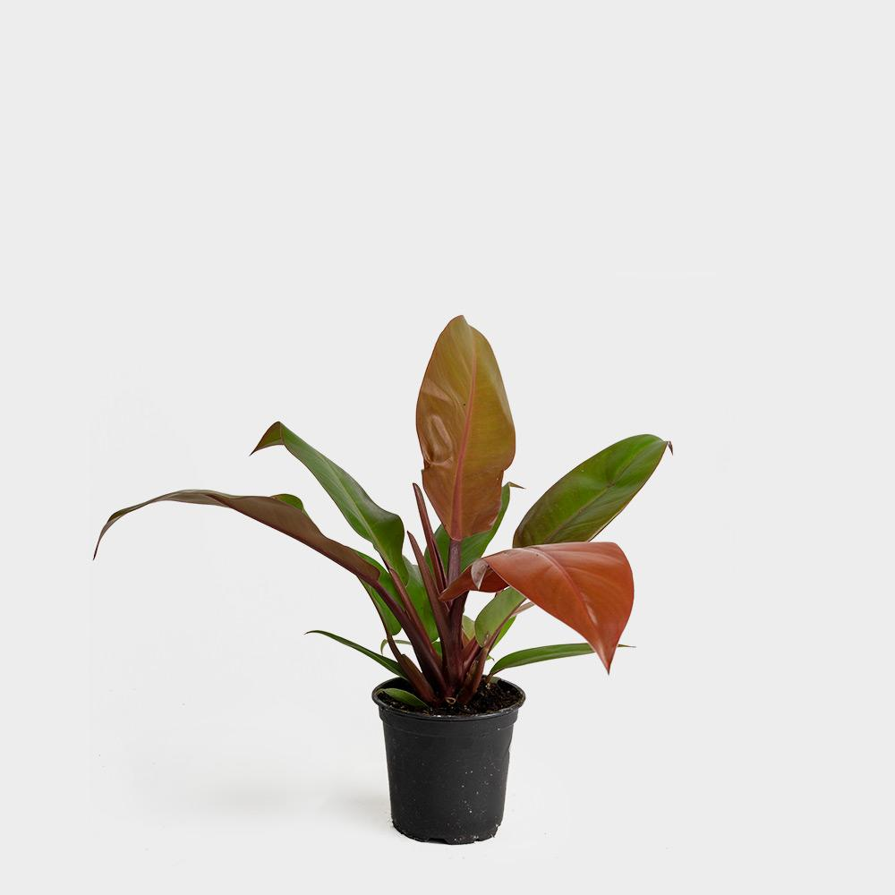 Philodendron Prince of Orange Plant Care Guide
