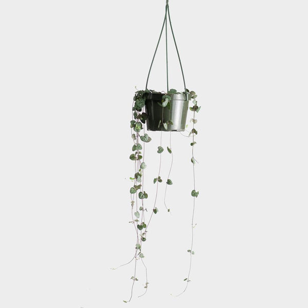 String of Hearts (Ceropegia Woodii) | 6