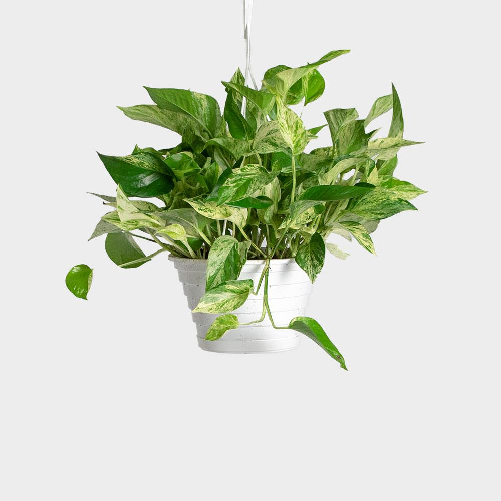 Marble Queen Pothos | Order Potted Plants Online