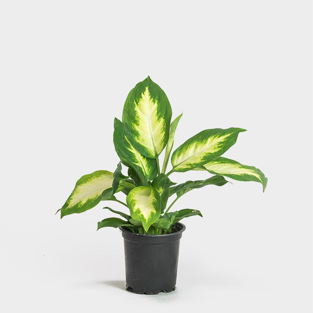 "Picture of Live Dumb Cane aka Dieffenbachia Camille  Plant Fit 4"" Pot"