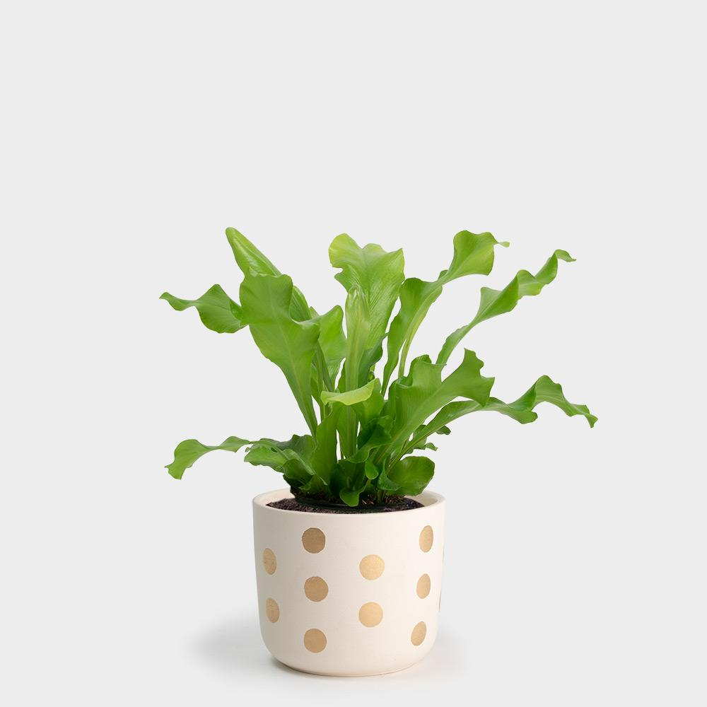 Nidus Bird's Nest Fern | 4