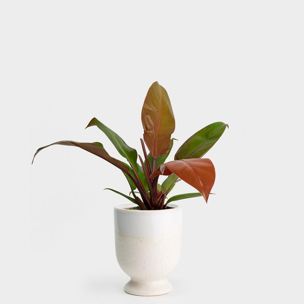 Philodendron Prince of Orange | 4