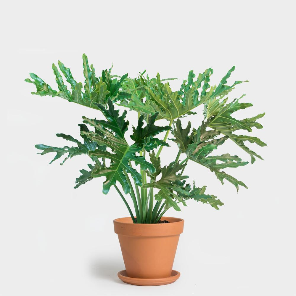 Philodendron Hope Selloum | 8