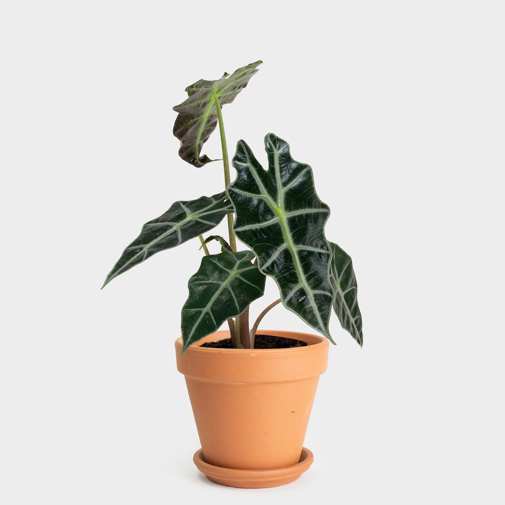 Alocasia Polly | 4