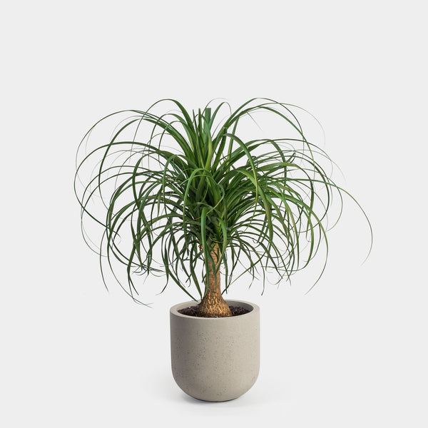 Ponytail Palm | 10