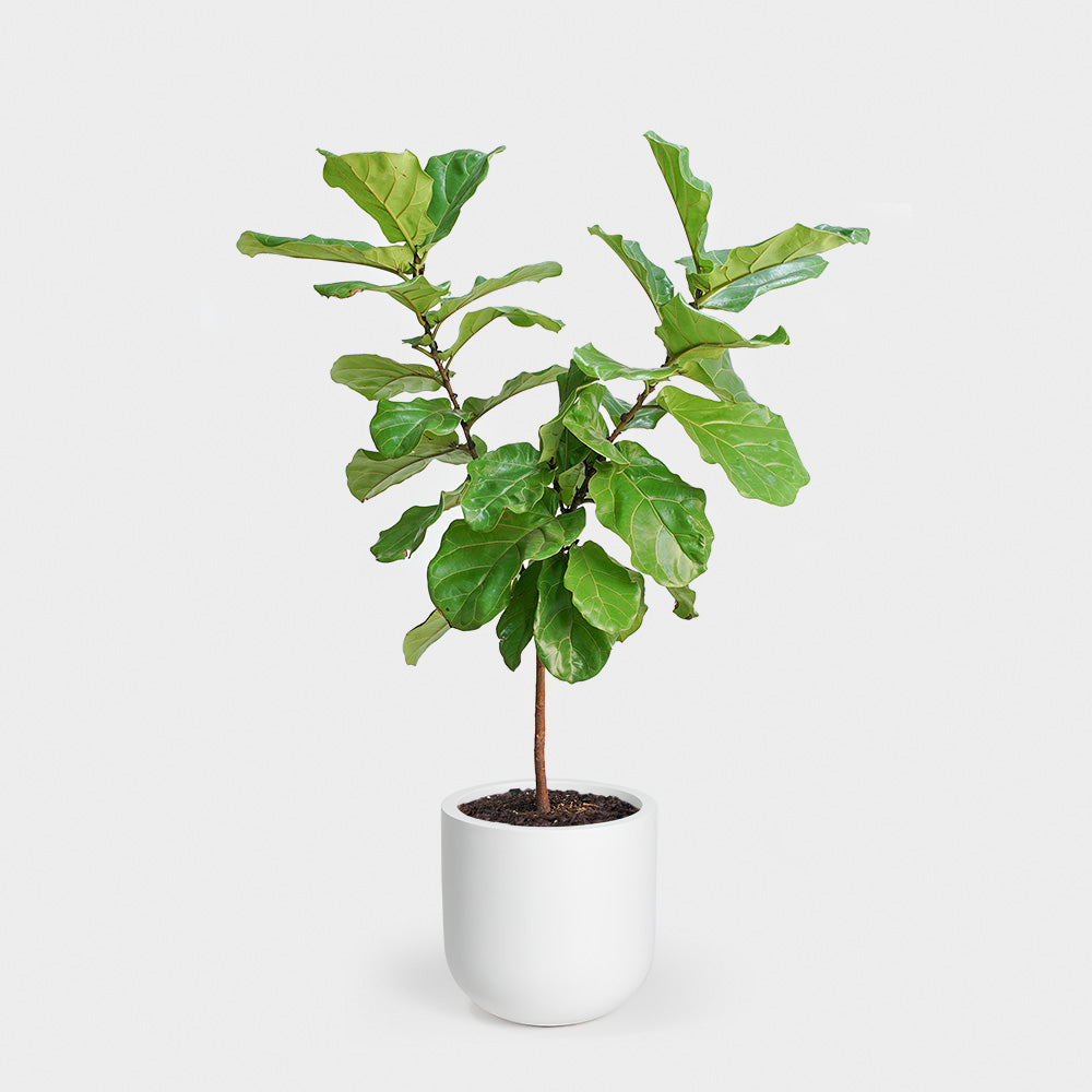 Fiddle Leaf Fig Topiary | 10