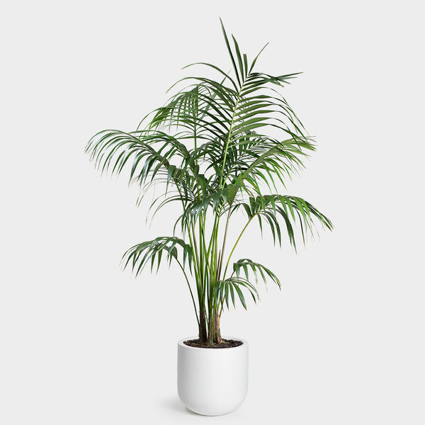 Kentia Palm | 14
