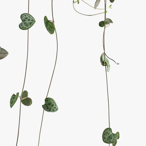 String of Hearts (Ceropegia Woodii) HB | 6