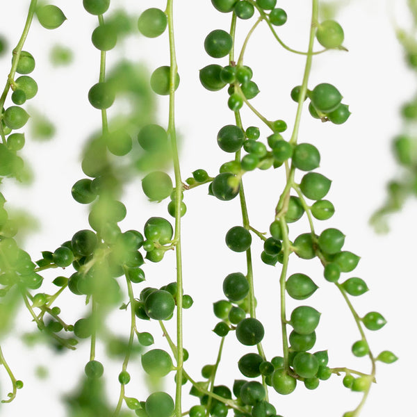 Senecio String of Pearls HB | 6
