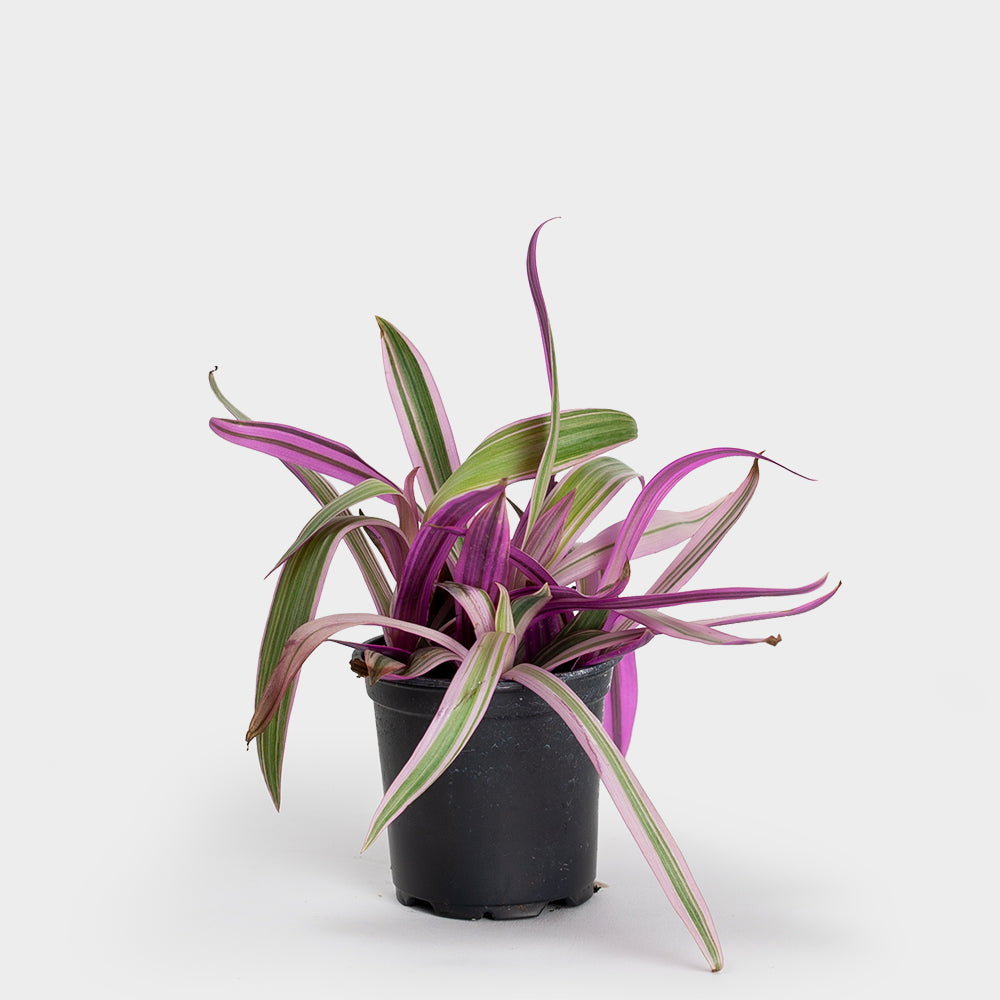 Rheo Pink Oyster Plant | 4