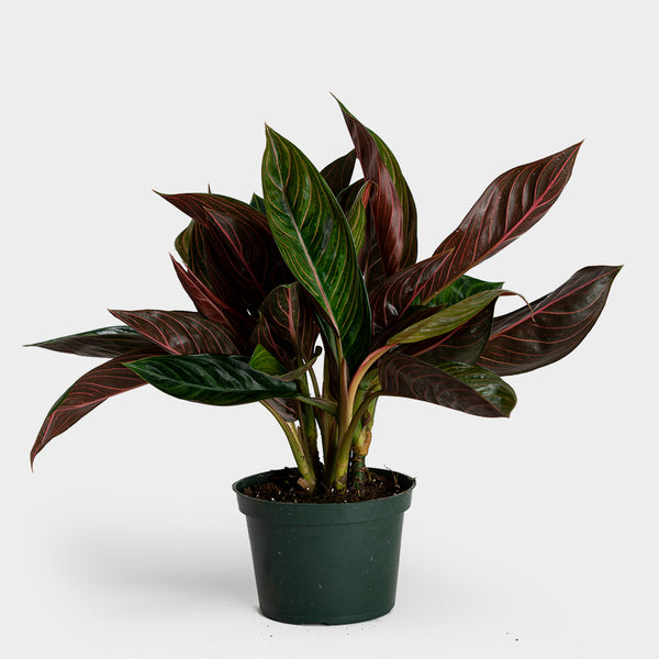 Aglaonema Chocolate | 6