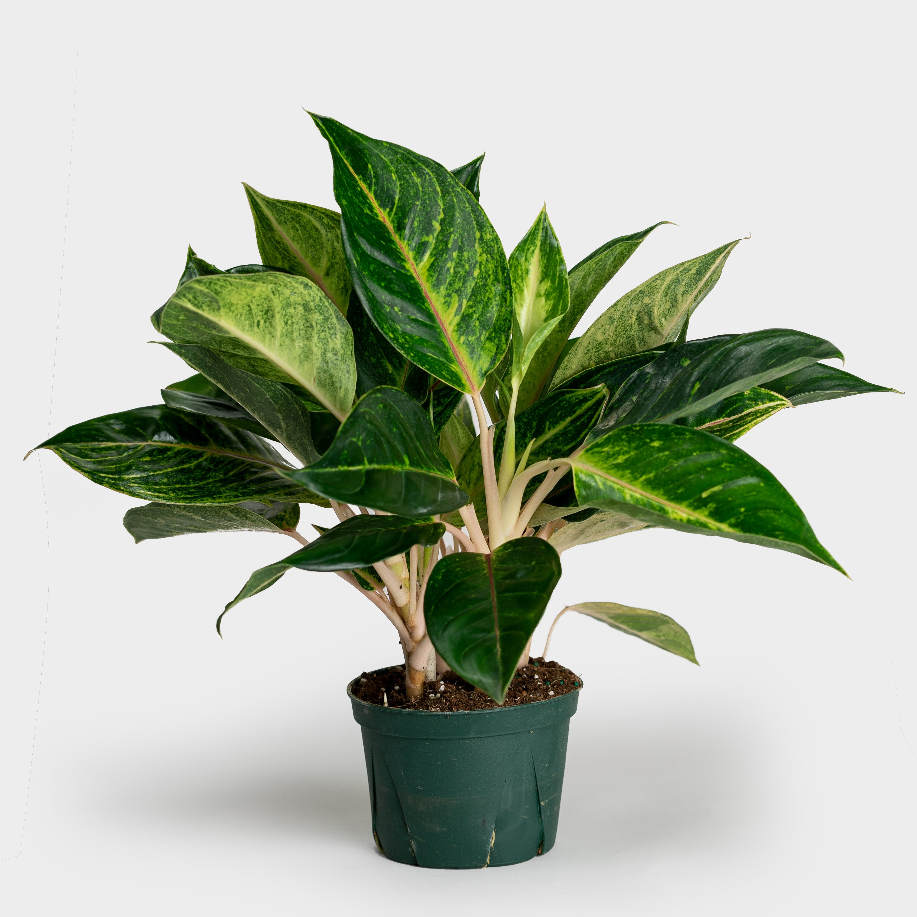 Aglaonema Papaya | 6