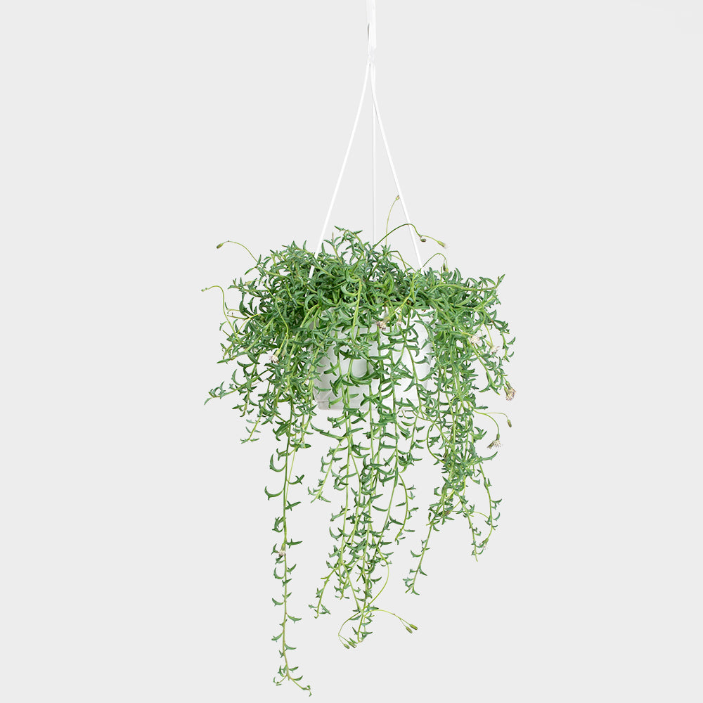 Senecio String of Dolphins HB | 6