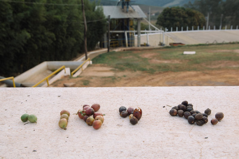 Coffee in cherries at different stages