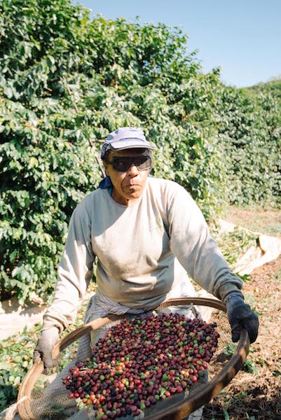 Sorting the mechanically picked coffee
