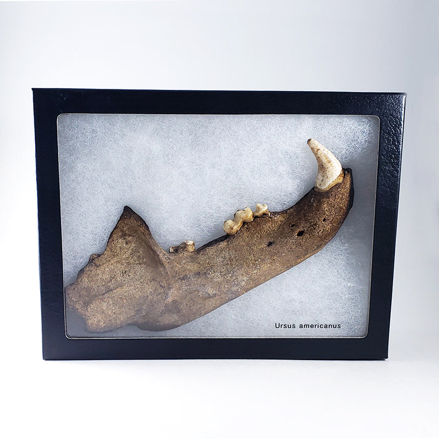 Fossilized Black Bear Mandible from Dixie City, Florida, USA with Display Box