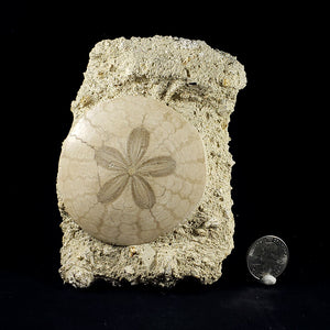 Fossil Sand Dollar from the D'Angers Region, France