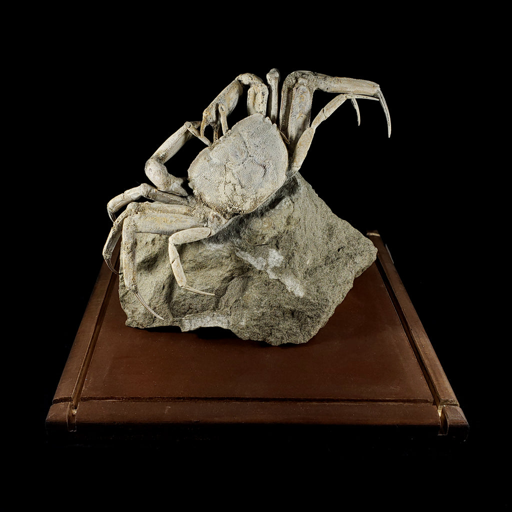 Fossilized Crab with Wooden Display Stand