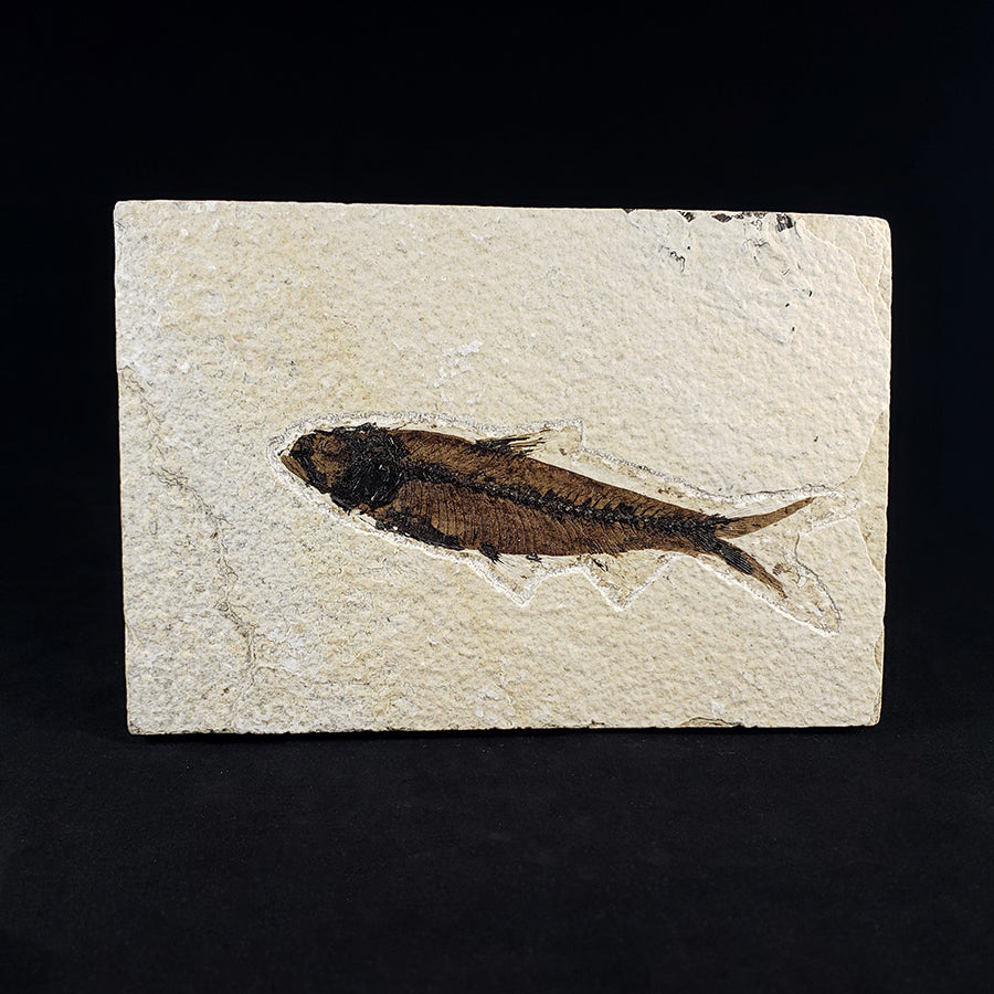 Small Diplomystus Fish Fossil Plate from Green River Formation, Wyoming, USA