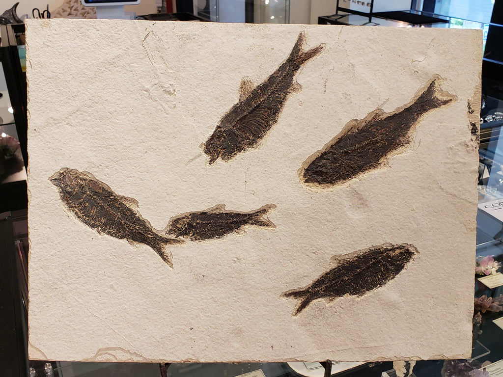 Diplomystus Fish Fossil Plate from Green River, Wyoming