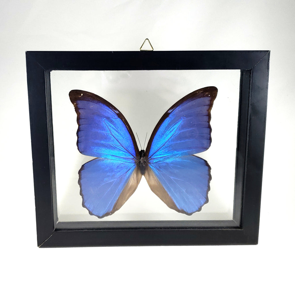 Framed Blue Morpho Butterfly