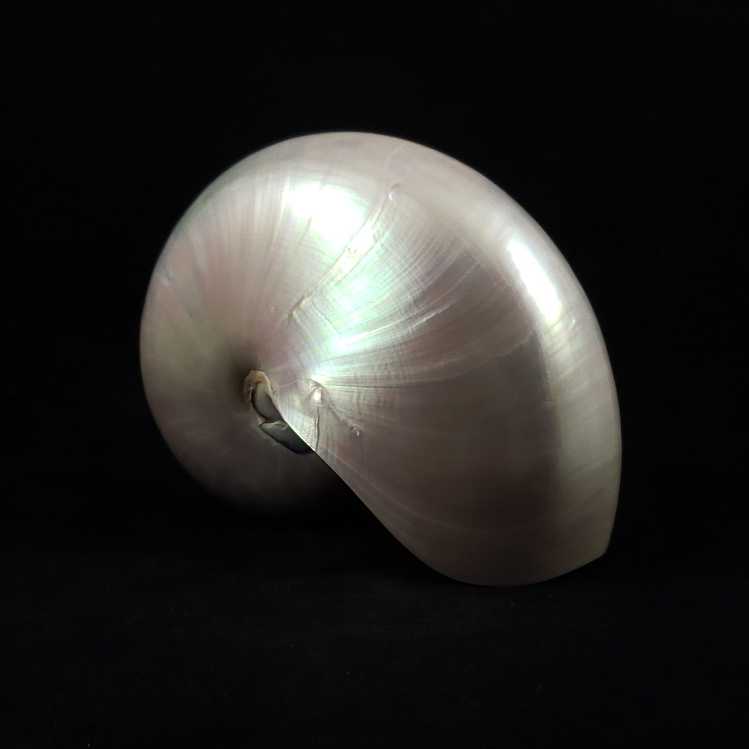 Pearl Nautilus Shell from the South Pacific