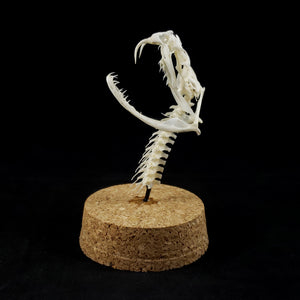 Rattlesnake Skull and Neck Bones with Glass Top Case