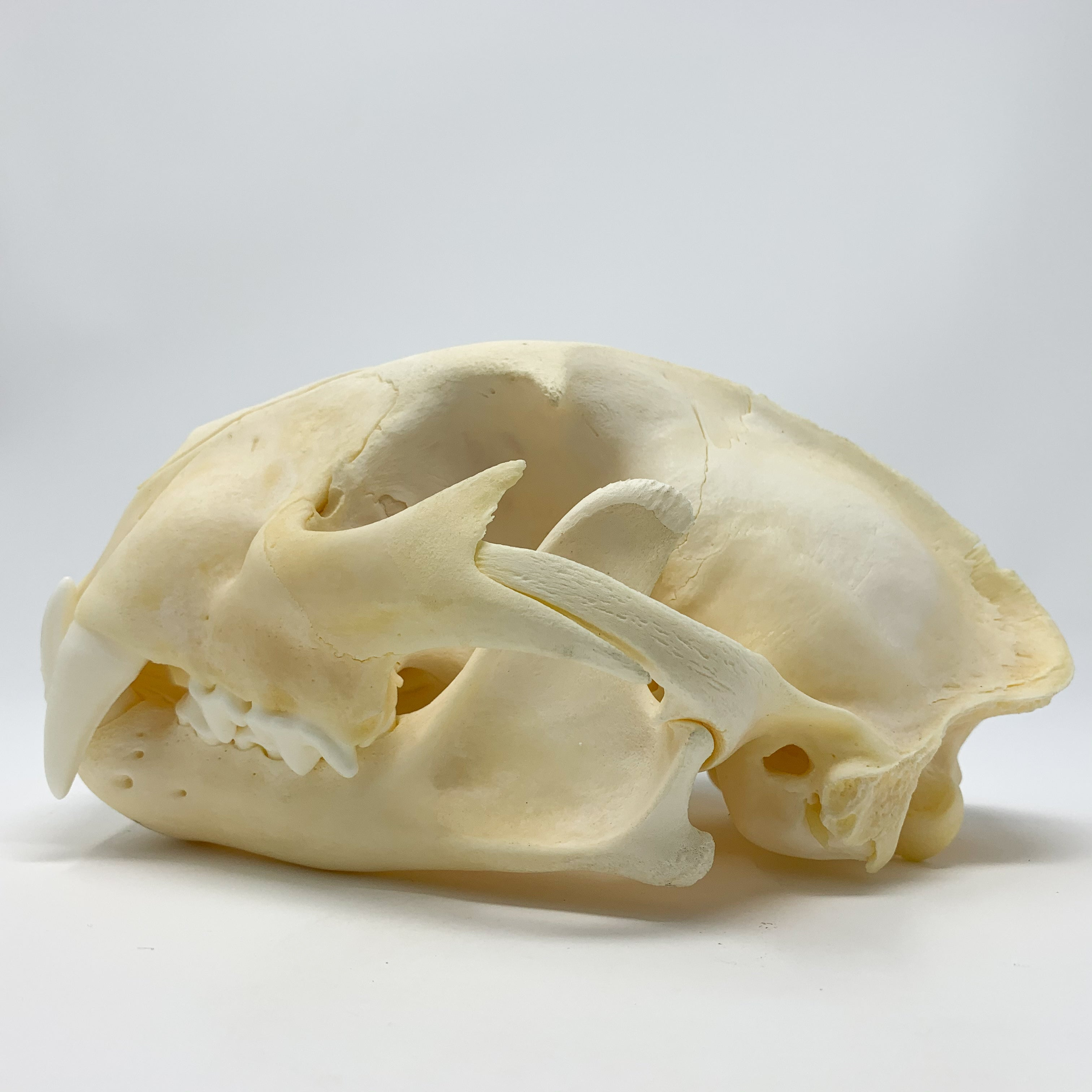 Mountain Lion Skull from Wyoming