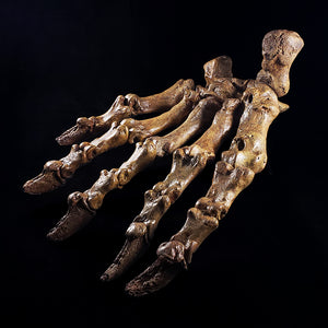 Fossil Cave Bear Paw from Romania