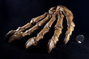 Fossil Cave Bear Paw from Russia