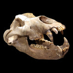 Fossil Cave Bear Skull from Romania