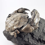 Fossil Crab Xanthopsis dufouri Specimen on Rock Matrix