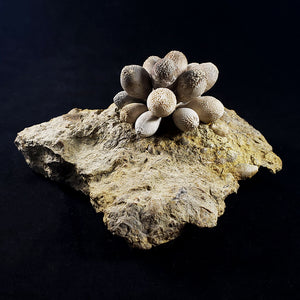 Fossilized Sea Urchin from Albarracin Teruel, Spain