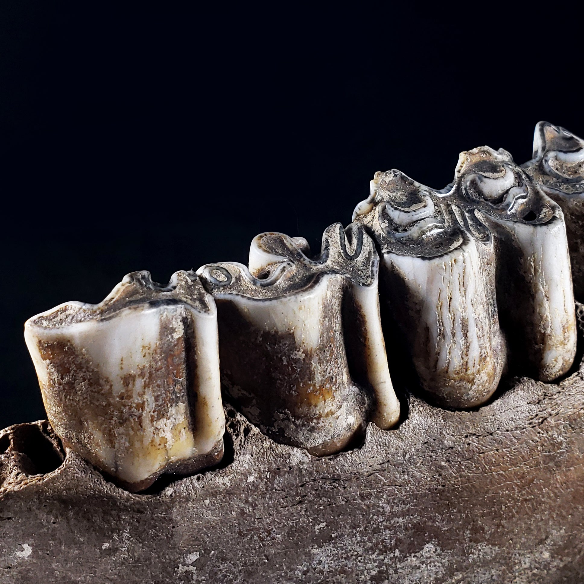 Fossilized Bison Jaw from Nishnabotna River, Iowa