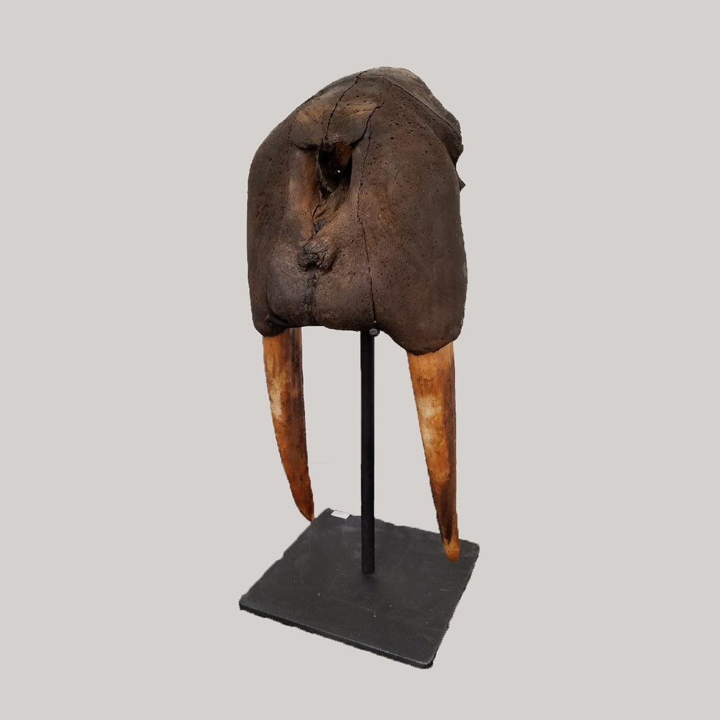 Fossilized Walrus Skull with Display Stand